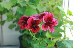 Purple Geranium royalty free stock images