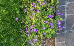 Purple Geranium Flowerbed next to a Porphyry Sidewalk. Above view of a flowerbed of purple geraniums surrounded by natural grass on one side and a porphyry Stock Photos