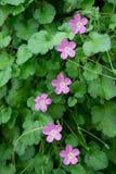 Purple geranium flowers line Stock Image