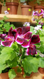 Purple  geranium  flowers   in the Sofia Botanical Garden Royalty Free Stock Images