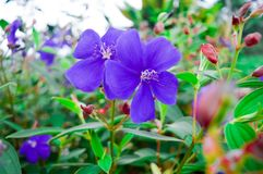 Purple geranium. Is one of 300 perennial plants or shrubs, including those in the geraniaceae group stock image