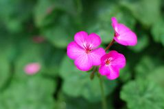 Purple geranium Stock Photography
