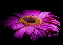 Purple gerber daisy. Water droplets ,on a vibrant purple Gerber daisy royalty free stock images
