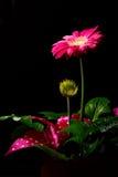 Purple gerbera flower Stock Photography