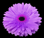 Purple gerbera flower, black isolated background with clipping path. Closeup., royalty free stock photo
