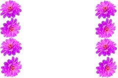 Purple Gerbera flower frame Stock Photo