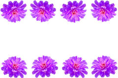 Purple Gerbera flower frame Royalty Free Stock Images