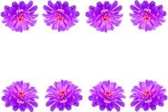 Purple Gerbera flower frame Royalty Free Stock Images