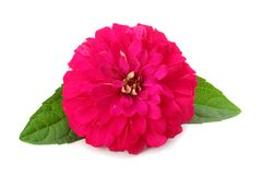 Purple gerbera flower isolated on white background Royalty Free Stock Photo