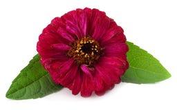 Purple gerbera flower isolated on white background Stock Photo