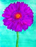 Purple gerbera Stock Images