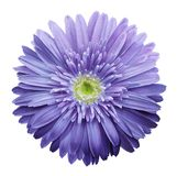 Purple  gerbera flower on a white isolated background with clipping path.   Closeup.  no shadows.  For design. Nature Royalty Free Stock Photo