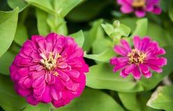 Purple gerbera flowers. In the garden Stock Images