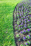 Purple gerbera in the garden. 1 Stock Images