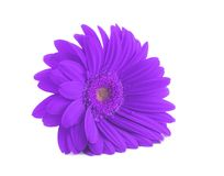 Purple gerbera isolated on white Stock Photos