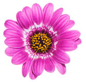 Purple gerbera with yellow hart Royalty Free Stock Photography