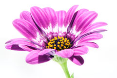 Purple gerbera with yellow hart Stock Photos