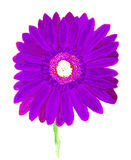 Purple  gerbera on yellow, watercolor Stock Photography