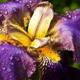 Purple German Iris or Iris germanica macro Royalty Free Stock Photography