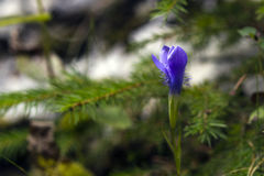 Purple gillyflower. Found on a cliff Stock Image