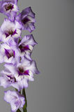 Purple Gladiolas on Grey Stock Photo