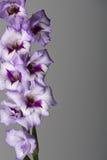 Purple Gladiolas on Grey Stock Photo