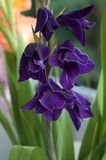 Purple Gladioli Stock Images