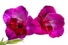 Purple gladiolus Stock Photography
