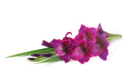 Purple gladiolus Royalty Free Stock Photography