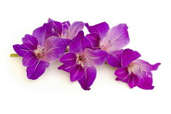 Purple gladiolus Stock Images