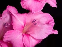 Purple gladiolus flower bloom. On black background Stock Photos