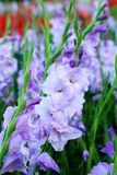Purple Gladiolus flower in field. Representation to Splendid  Beauty and promise. Stock Photography