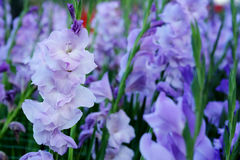 Purple Gladiolus flower in field. Representation to Splendid  Beauty and promise. Stock Photo