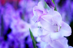 Purple Gladiolus flower in field. Representation to Splendid Beauty and promise. Stock Image