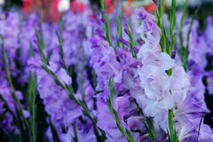 Purple Gladiolus flower in field. Representation to Splendid Beauty and promise. Royalty Free Stock Image