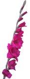 Purple gladiolus flower isolated on white Stock Photo