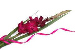 Purple gladiolus flower with ribbon isolated on white Stock Photography