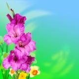 Purple gladiolus flowers Stock Images