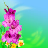 Purple gladiolus flowers Stock Images