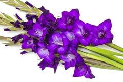 Purple gladiolus flowers Stock Image