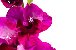 Purple gladiolus on white Royalty Free Stock Image