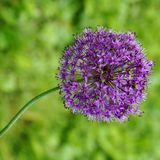 Purple globe allium on a bent stem. Bloom of the purple globe allium on a bent stem in the spring Royalty Free Stock Images