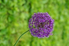 Purple globe allium flower. On a bent stem Royalty Free Stock Images