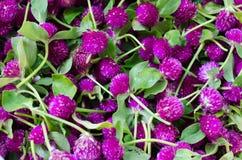 Purple Globe Amaranth Stock Images