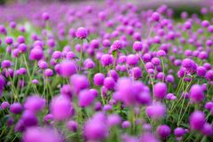 Purple `Globe Amaranth` flower or Bachelor Button, Globe Flower in garden. Selective focus Stock Photo