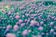 Purple `Globe Amaranth` flower or Bachelor Button, Globe Flower in garden. Selective focus Stock Image