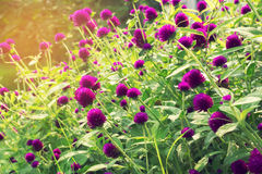 Purple Globe Amaranth vintage filter. Stock Photo