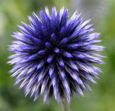 Echinops Or Globe Thistle. Purple globe thistle or Echinops in bloom in late summer royalty free stock photos