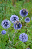 Purple globe thistle flowers Royalty Free Stock Images