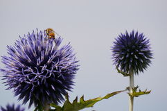 Purple globe thistle pollination. A pair of bees pollinates this Globe thistle in the summer sun Royalty Free Stock Photo